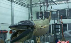 世界最长最大的海洋哺乳动物塑化标本(图)
