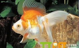 金鱼几天换一次水如何给金鱼换水