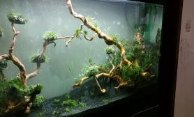 终于弄完了水草缸1图片2米杜鹃根缸