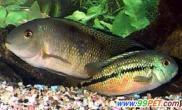 观赏鱼致病的主要原因(图)