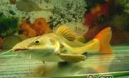 红尾鲶鱼的品种介绍
