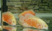 繁殖地图鱼的准备及饲养过程(图)