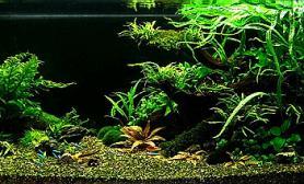 椒草的造景缸