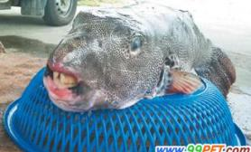 台湾渔民捕获一条暴牙怪鱼非常罕见(图)