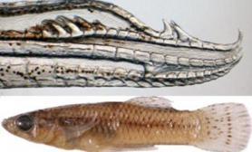 新种鱼雄性生殖器拥有四个钩状器官(多图)