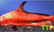 胭脂鱼病害早防治
