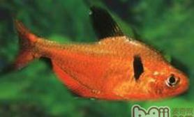 红裙鱼的外形特点