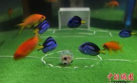 日本观赏鱼组队进行水中足球赛(多图)