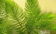 该如何种植金鱼藻