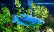 蓝星鱼的外形特点