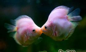 接吻鱼应该怎么养