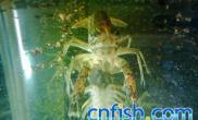 普及化的鳌虾蓝龙纹虾的繁殖技巧