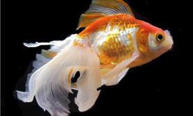 水池饲养金鱼的技术要点(图)