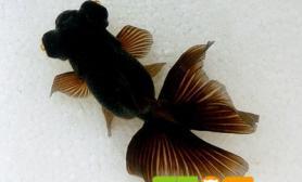 怎么让金鱼快点长大