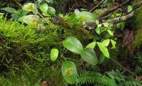 植物原生境(Orchidaceae)—Pleurothallis(Pleu.) 叶上花属