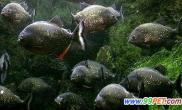 擅养千条食人鱼受处罚(图)