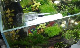 上帝啊我的虾缸出现黑毛藻了咋办水草缸球救啊