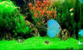 神仙和水草的搭配水草缸美极了