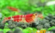 水晶虾饲养过程中的注意事项
