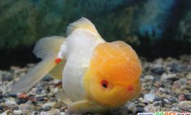 金鱼鱼鳃有红点的原因和治疗方法(图)