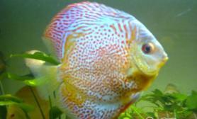 能与七彩神仙鱼混养的水草推荐