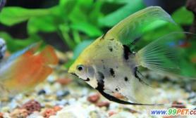 引发热带鱼患病的几个原因(图)