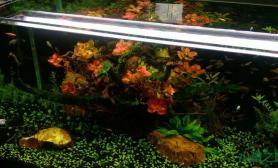 水族箱造景[分享]水下红玫瑰水草缸送给大家水草缸祝大家情人节快乐