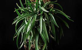 植物栽种技巧花友生活阿里风兰尺寸设计