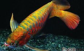 亚洲龙鱼的品种简介