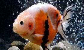 新手怎样才能正确掌握金鱼食量(图)