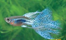 孔雀鱼水霉病怎么办如何治疗