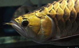 金头金龙鱼美照