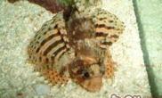 三棘狮子鱼的品种简介