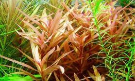 红柳对生长环境的适应能力(图)