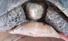 南方倒春寒养冬眠陆龟的主人要多个心眼