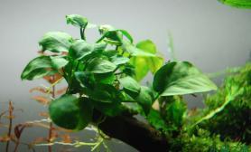 给沉木上添加了迷你水榕和细叶铁皇冠和鹿角苔