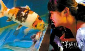 2010第十届中国锦鲤大赛将在广州番禺举行(图)