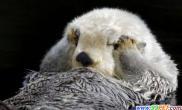 动物园超萌水獭(多图)