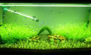 水草缸15天 - 珍珠草菜园子