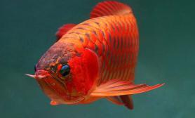 红龙鱼兜嘴细说