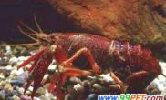 怎样饲养螯虾(图)