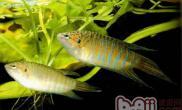 叉尾斗鱼的饲养及繁殖简介