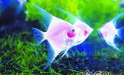 粉红神仙鱼的品种特点
