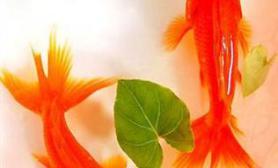 谨防五彩金鱼实为染色效果(多图)