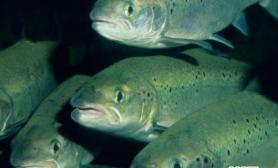 科学家发现过半大西洋鲑鱼死于寄生虫感染(多图)