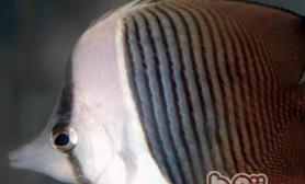 珠蝴蝶鱼的外形特点