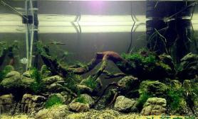 水草造景刚开的60缸水草缸征名沉木杜鹃根青龙石水草泥