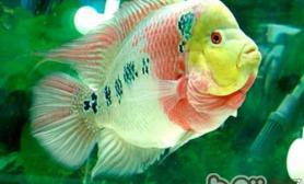 饲养罗汉鱼的常用术语