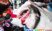 大白鲨误撞网被台渔民捕获6只小鲨死腹中(图)