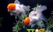金鱼幼鱼饲养的注意事项